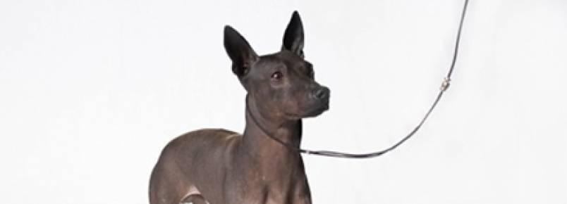 Estados Unidos apresentam duas novas raças de cães criadas em laboratório