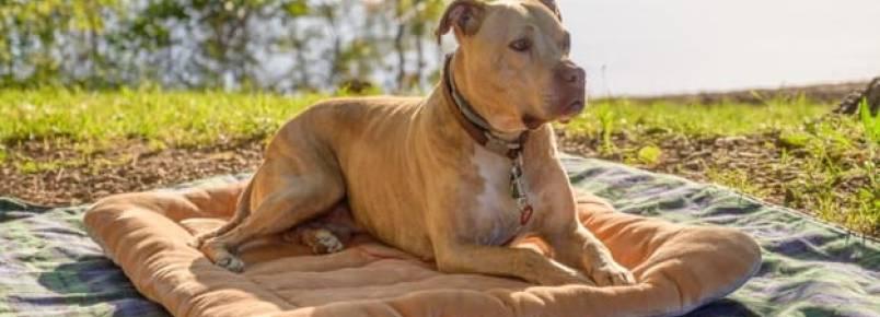 Cachorro com câncer de pele: Como tratar? Como prevenir?