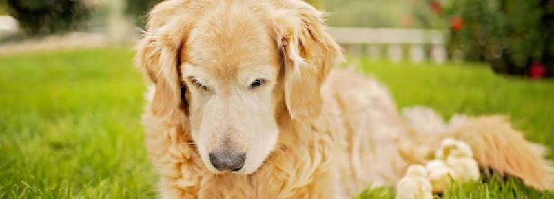 A improvável amizade entre um cachorro e pintinhos