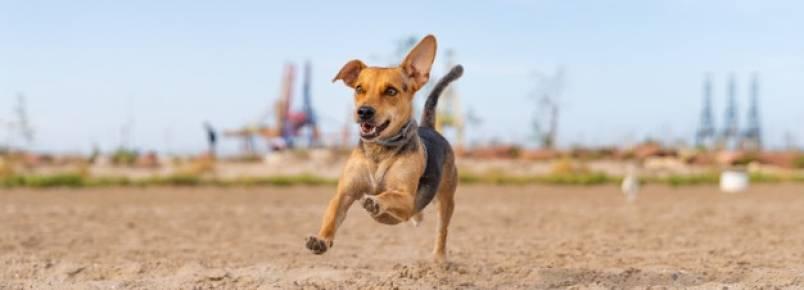 Quais são os melhores cachorros de corrida?