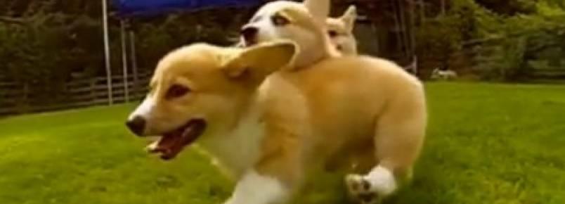 Vídeo mostra agilidade de cães da raça Welsh Corgi em câmera lenta