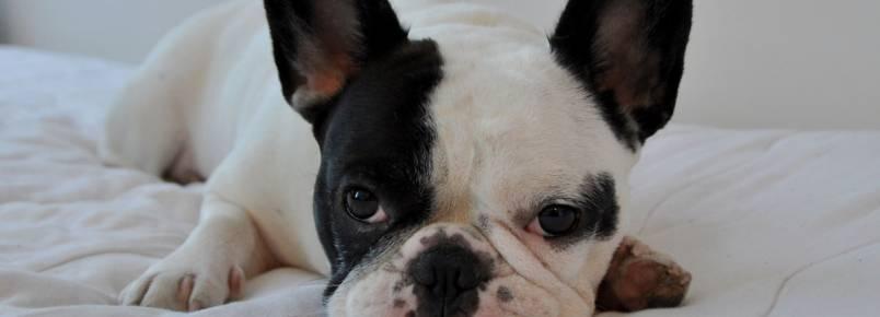 Saúde dos olhos: as doenças mais comuns em cães