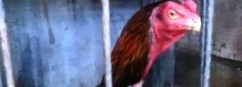 Ação da PM flagra rinha de galos e prende 54 pessoas em Seropédica