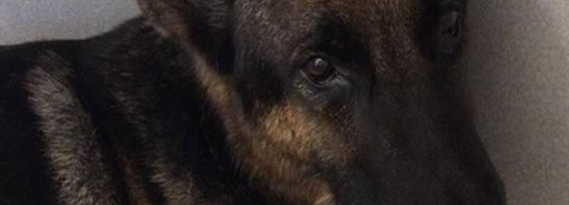 Cão salva crianças de casa em chamas nos Estados Unidos