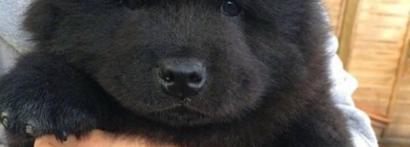 Por que temos vontade de apertar cães fofinhos?