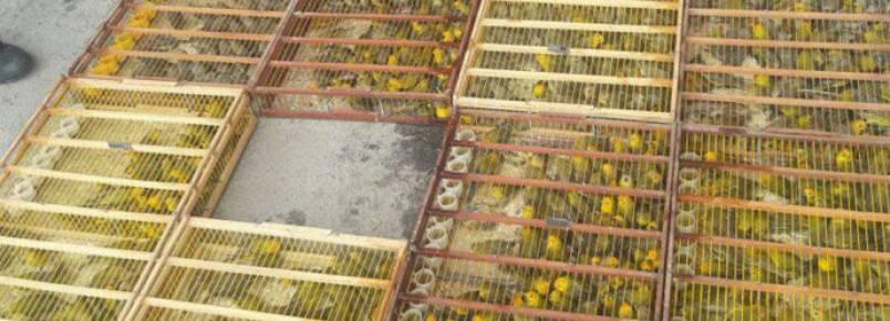 Traficante é preso pela 13ª vez com 1 000 pássaros em porta-malas