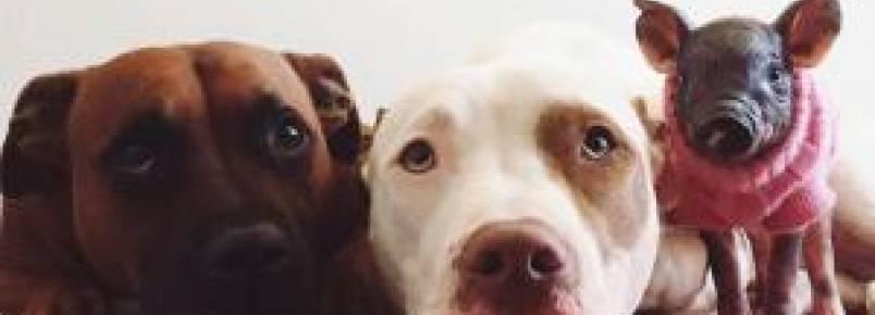 Pit Bulls amorosos se derretem por sua mais nova irmãzinha