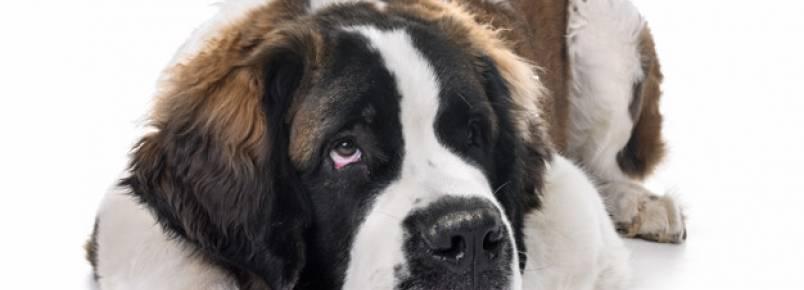 Ranking dos cachorros de grande porte