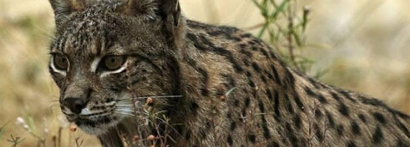 WWF e ICNF pedem adoção simbólica de peluche de lince ibérico para angariar fundos