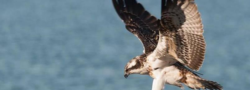 Águia-pesqueira regressa a Portugal depois de 13 anos de ausência
