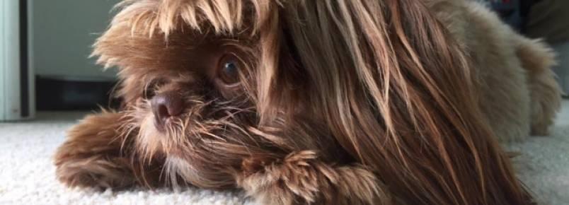 """Moradora de mansão invadida recupera cão roubado, mas ainda aguarda pelo outro """"filho peludo"""""""