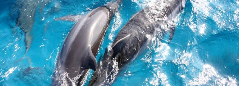 Tubarões e golfinhos são grandes animais do mar de Noronha