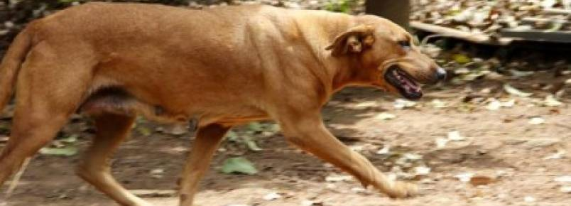 Cadela viaja 4 km todos os dias para garantir sustento de outros animais