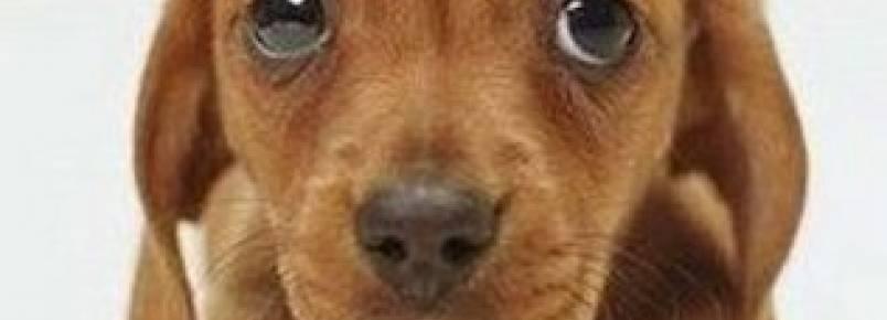 Como identificar se o cão sofre com a síndrome da ansiedade de separação