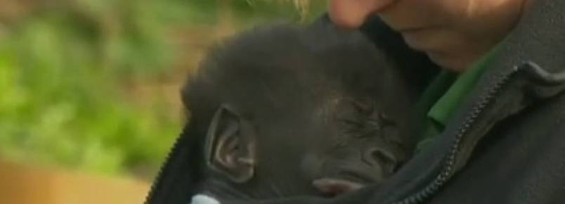 Bebê gorila é mostrado na Inglaterra
