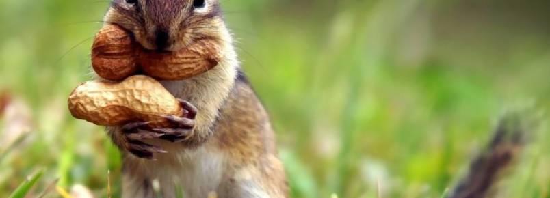 Os esquilos são os animais que mais plantam arvores