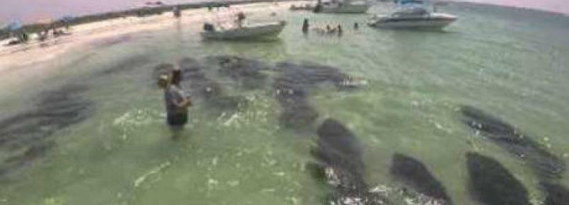 """Grupo de peixes-boi """"invade"""" praia na Flórida."""