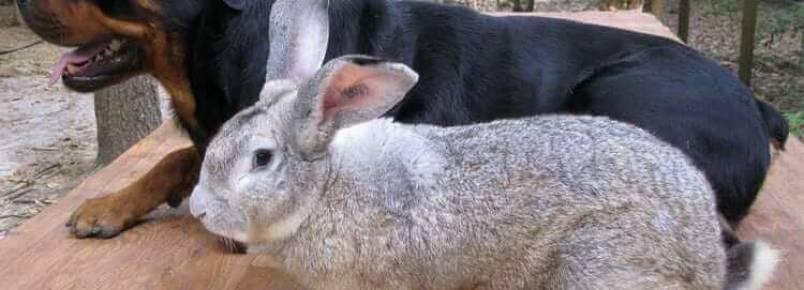 O gigante continental: o maior coelho do mundo