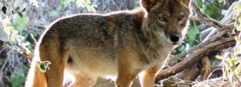 Grupos de proteção animal conseguem proibir competições de caça a coiotes no Oregon