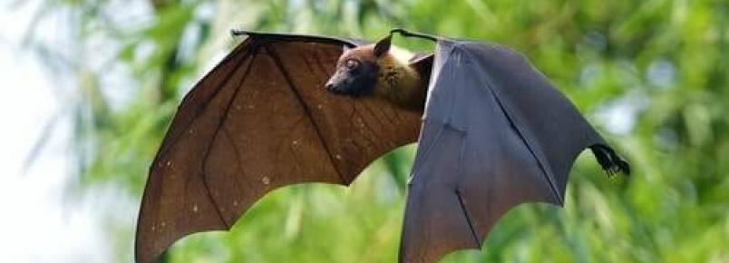 Morcegos e vampiros, uma curiosa associação