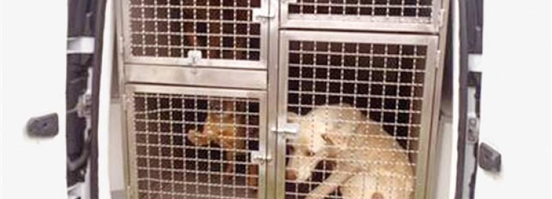 GNR tira cães a dona suspeita de maus-tratos