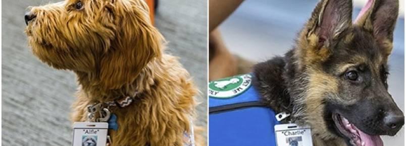 Cães serão treinados para detectar estágios iniciais de câncer em pacientes