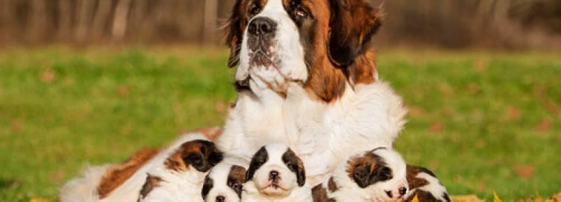 Como saber qual será o tamanho de um cão quando ele crescer?