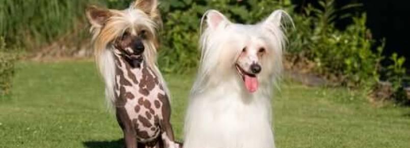 Cão de crista chinês: cuidados, características e curiosidades