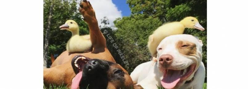 Cães se tornam melhores amigos de filhotes de patos órfãos