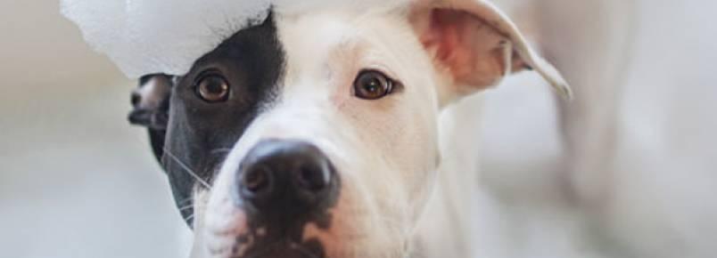 4 sinais de que você não está fazendo a limpeza do seu cão da forma correta