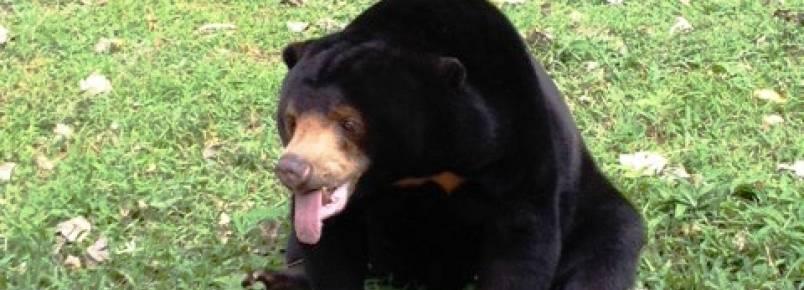 Ursa cega resgatada inspira trabalhadores de santuário no Vietnã