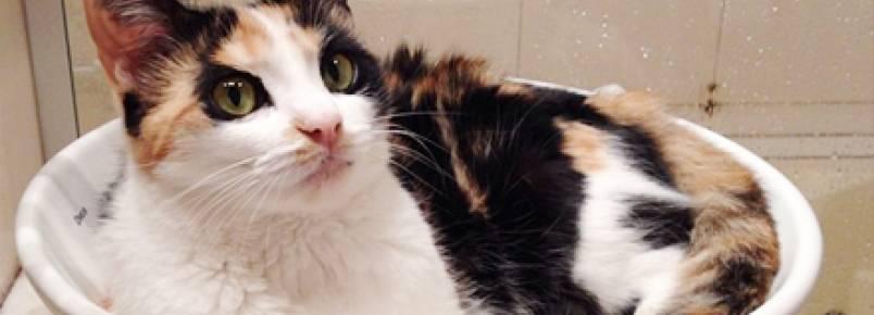 Banho em gatos: lambidas x chuveiro