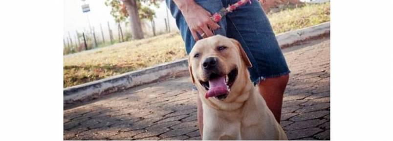Publicitário passeia com Labrador