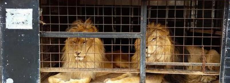 Leões explorados por circo desde filhotes são devolvidos à África