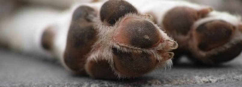A pata do cachorro está inchada – O que pode ser?
