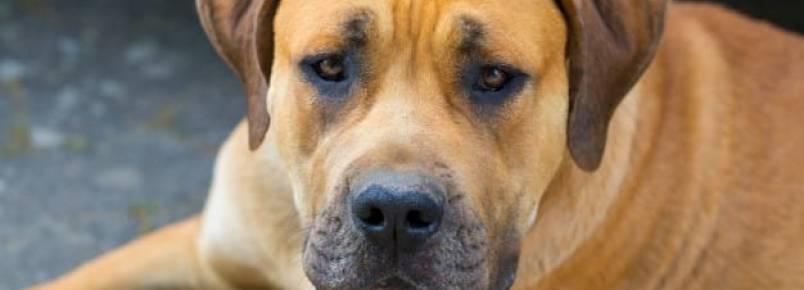 Boerboel: um cachorro capaz de levantar carga de até 450 kg