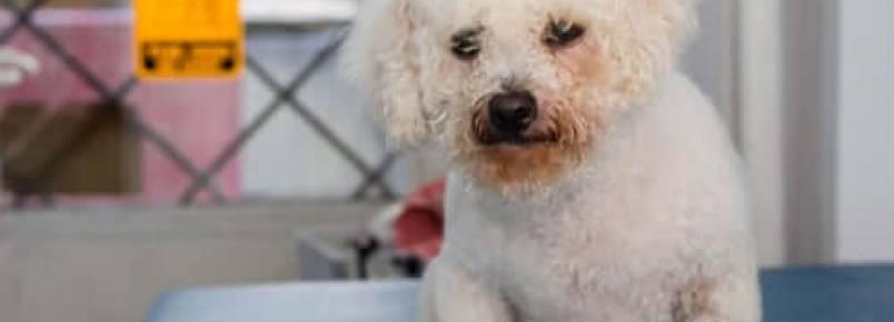 Dermatite por Malassezia em cães