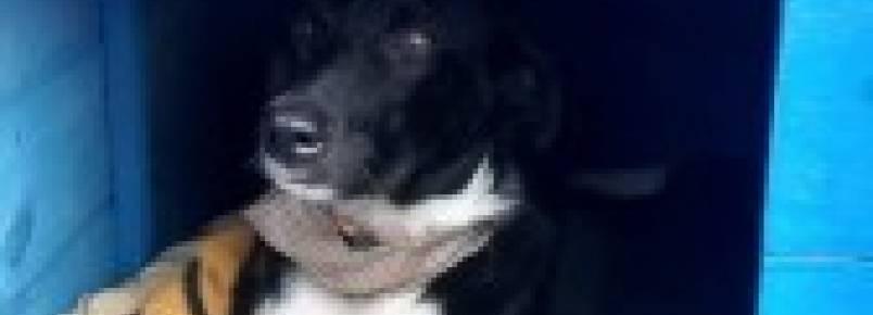 Cão vira mascote da PM de Urussanga