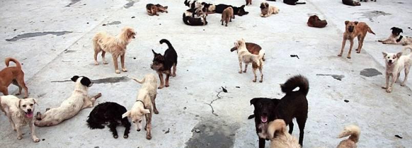 Abrigo chinês que salvou mais de mil cães no festival de carne de Yulin passa por dificuldades
