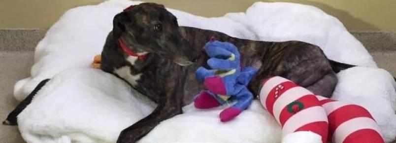 Greyhound que participava de corrida de cães quebra duas pernas por causa do esforço excessivo