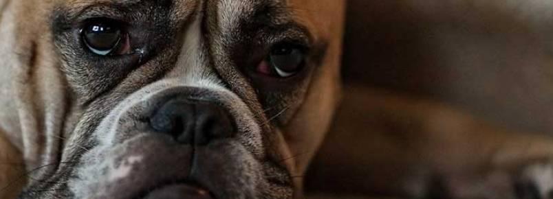 O que você deve saber sobre os caroços na pele do seu cachorro
