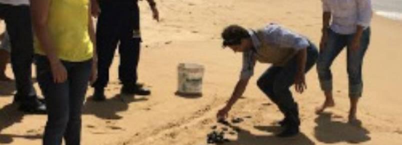 136 filhotes de tartaruga ganham a praia de Piedade