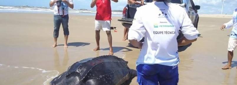 Resgatada Tartaruga-de-couro de quase 300 kg na praia da Pedra do Sal