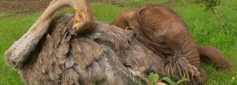 Elefantes confortam elefantes que perderam suas mães