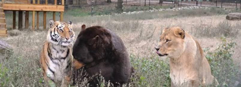 Urso, leão e tigre vivem juntos há 15 anos