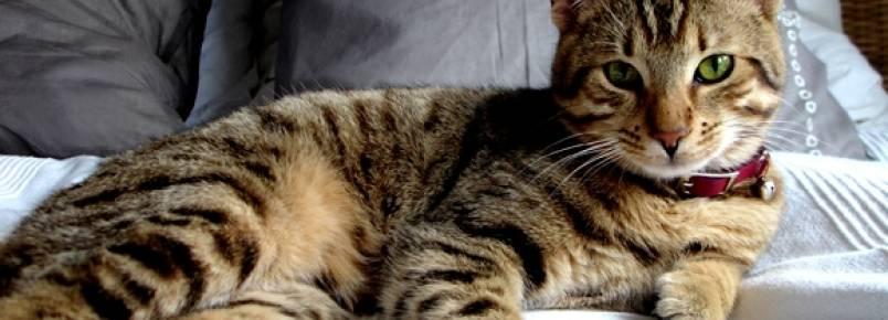Ronronar dos gatos faz bem a saúde