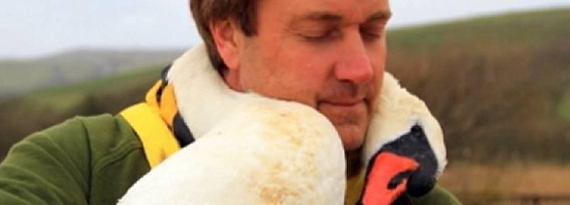 Cisne ferido é ajudado por homem e