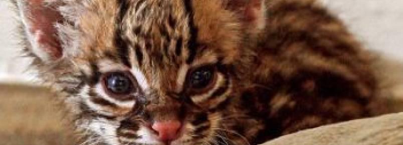 Batalhão Ambiental resgata filhote de jaguatirica