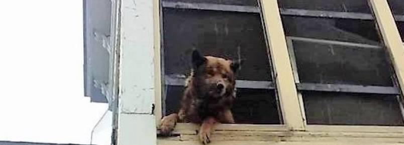 Cachorro é resgatado após passar semanas pedindo ajuda da janela de uma casa