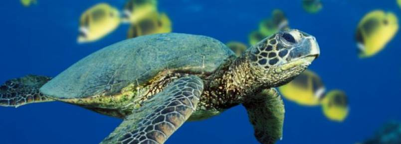 Tartarugas verdes deixam de ser espécie em perigo e passam a ameaçada nos EUA
